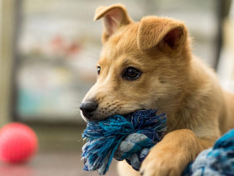 Puppy Preeschool - Københavnersnuden